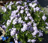 Phlox subulata L.'Emerald Cushion Blue'