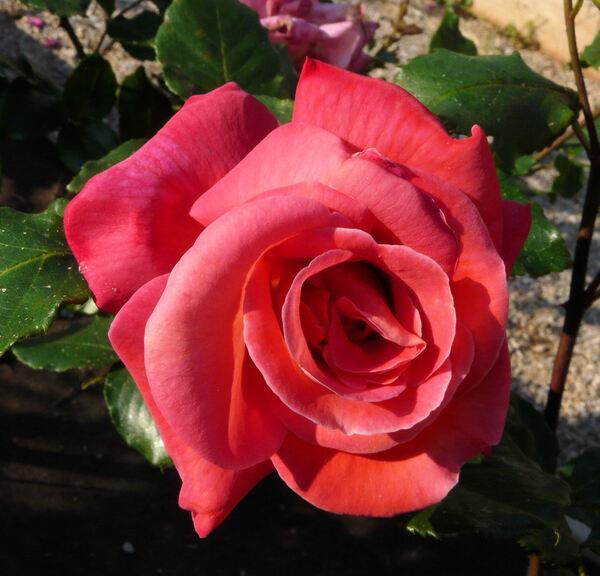 Rosa 'Triomphe de Pernet Père'