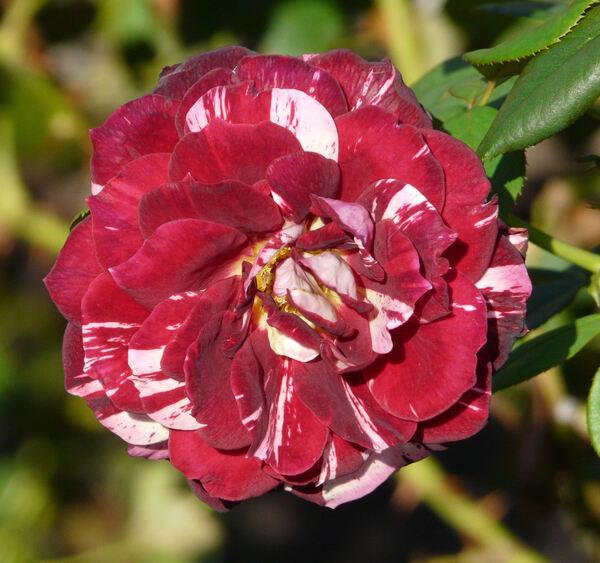 Rosa 'Julio Iglesias ®'