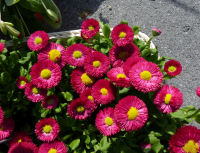 Bellis 'Rominette Red'