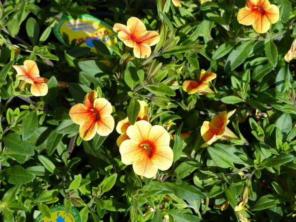 Calibrachoa 'Aloha Gold'