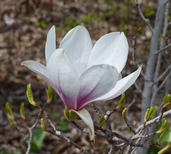 Magnolia x soulangeana Soul.-Bod. 'Rustica Rubra'