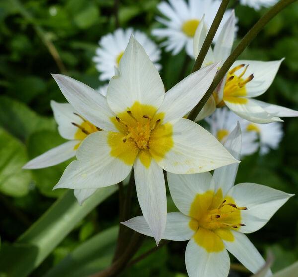 Tulipa turkestanica (Regel) Regel
