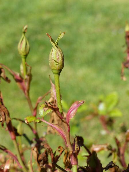 Rosa 'Viridiflora'