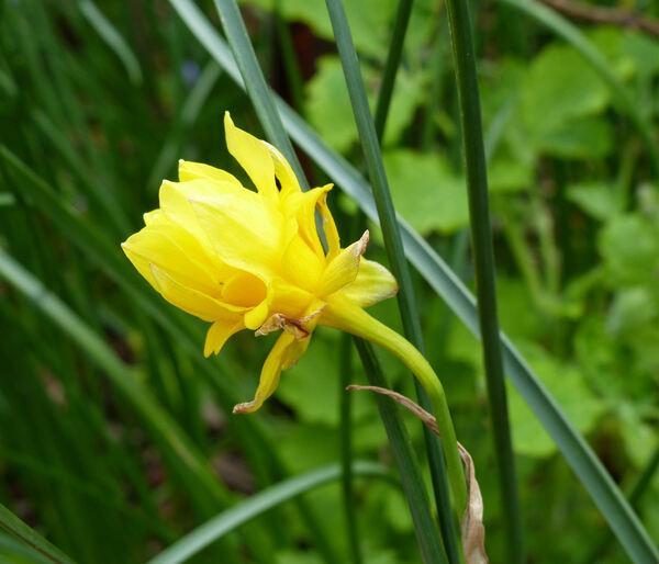Narcissus ×odorus L. 'Plenus'