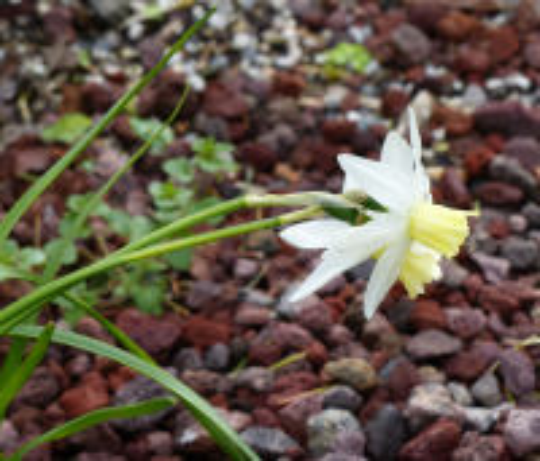 Narcissus cyclamineus DC. 'Jenny'