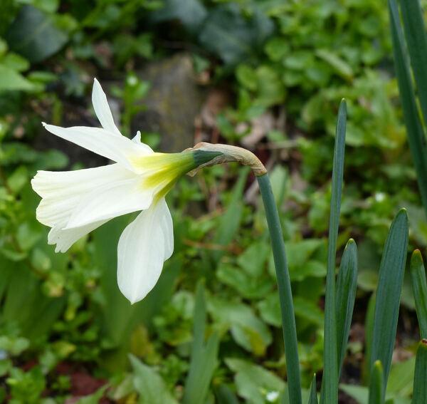 Narcissus pseudonarcissus L. subsp. moschatus (L.) Baker