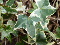 Hedera helix L. 'Silver King'