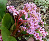 Bergenia crassifolia (L.) Fritsch