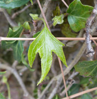 Hedera helix L. 'Spear Point'