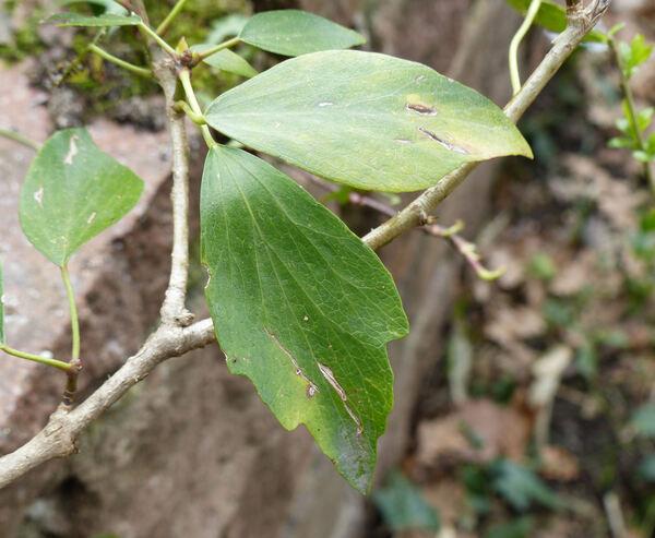 Hedera nepalensis K. Koch
