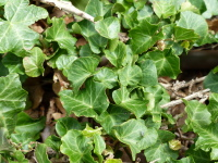 Hedera helix L. 'Frizzle'