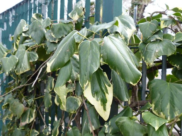Hedera colchica (C. Koch) C. Koch 'Dentata Variegata'