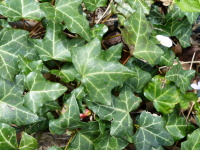 Hedera helix L. 'Spetchley'