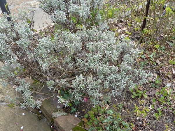 Lavandula angustifolia Mill. 'Princess Blue'