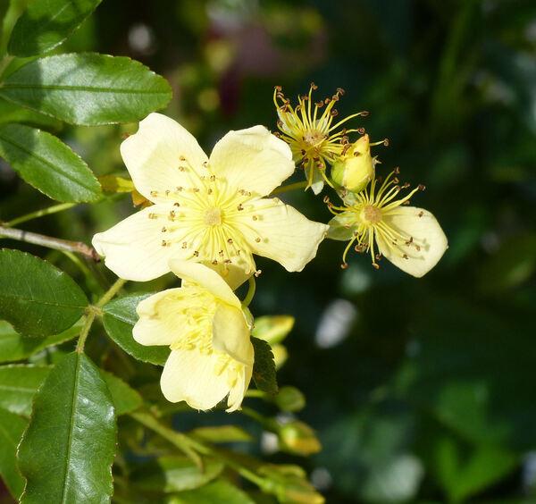 Rosa banksiae W.T.Aiton 'Lutescens'