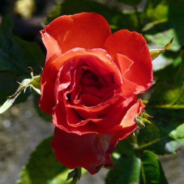 Rosa 'Pasadena ®'