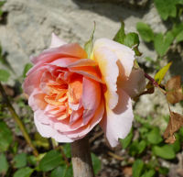 Rosa 'Versigny ®'