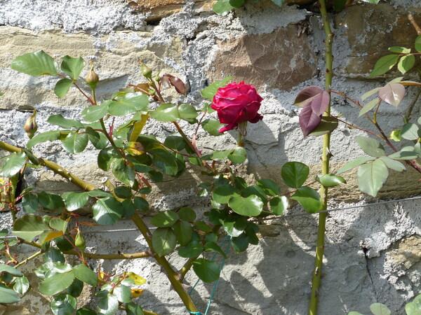 Rosa 'Messire Delbard ®'