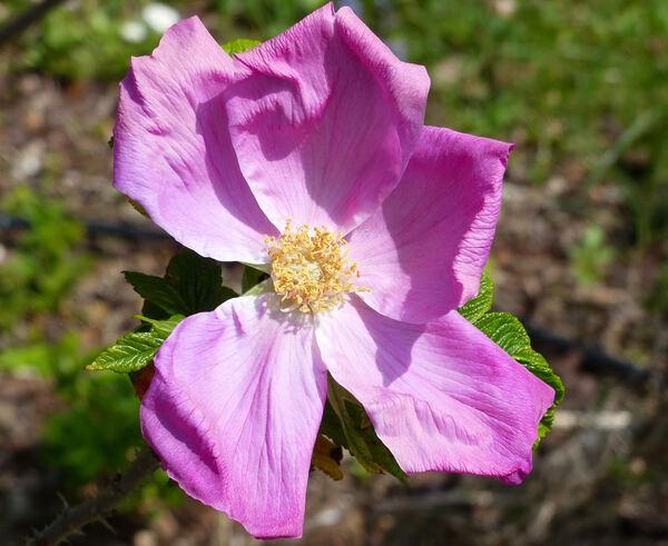 Rosa 'Scabrosa'