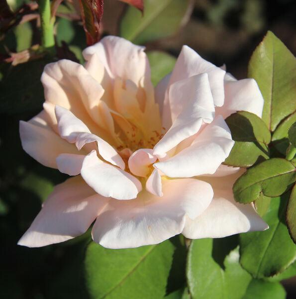 Rosa 'Clodagh McGredy'