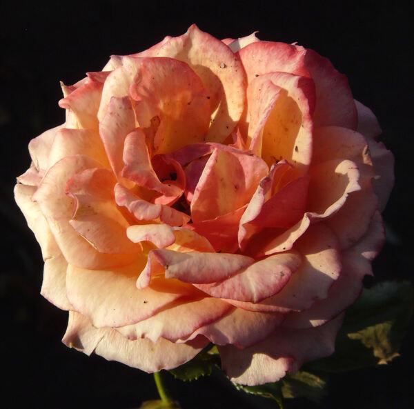 Rosa 'Marjorie May'