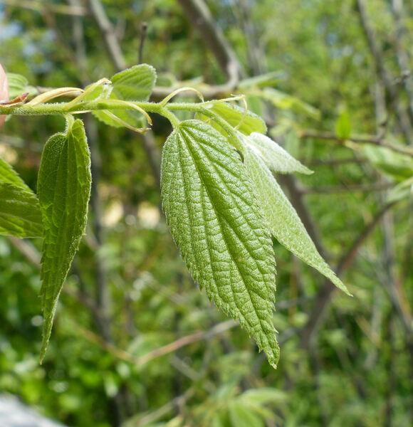 Celtis australis L. subsp. australis