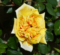 Rosa 'Madame Pierre S. Dupont, Cl.'