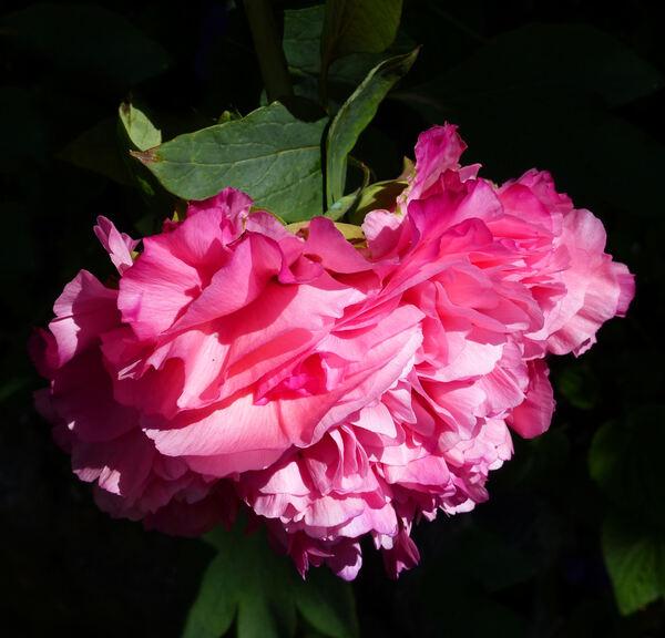 Paeonia 'Reine Elisabeth'