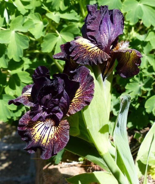Iris 'Ruby Eruption'