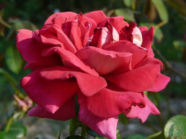 Rosa 'Kronenbourg ®'