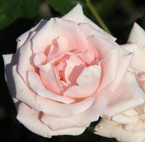 Rosa 'Märchenkönigin'