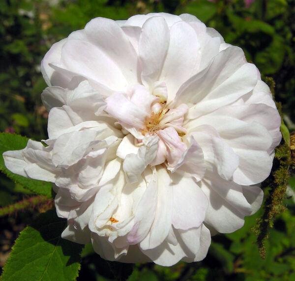 Rosa 'Comtesse de Murinais'