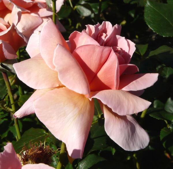 Rosa 'Radiosa'