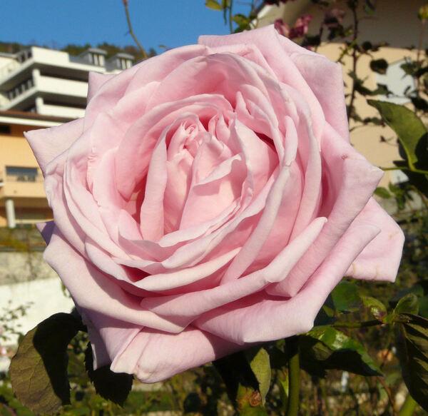 Rosa 'Tahore'