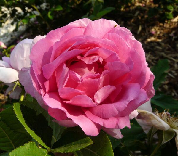 Rosa 'Empress Joséphine'