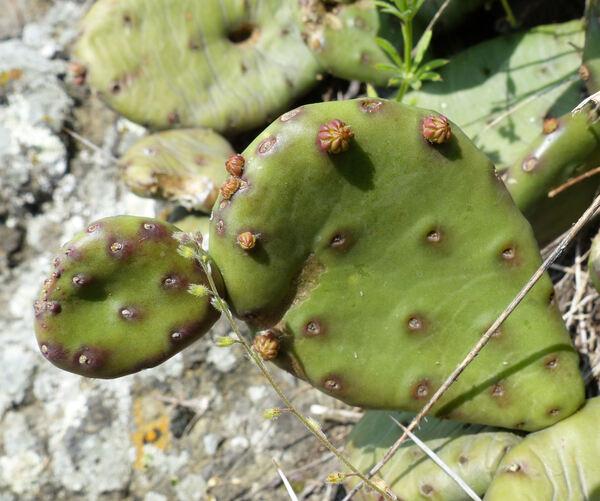 Opuntia humifusa (Raf.) Raf.