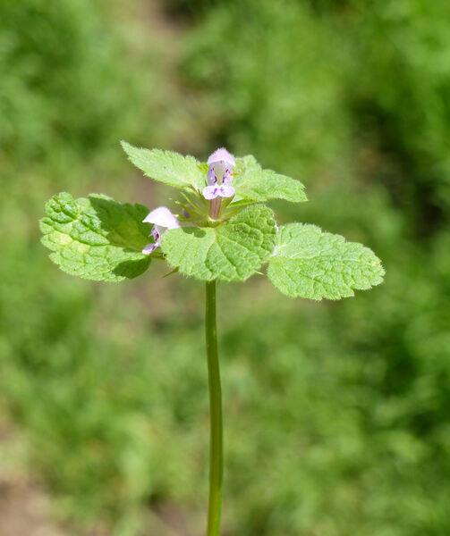 Ballota nigra L. subsp. meridionalis (Bég.) Bég.
