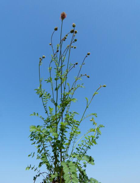 Poterium sanguisorba L. subsp. balearicum (Bourg. ex Nyman) Stace