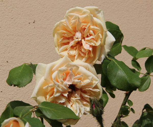 Rosa 'Lisette de Béranger'
