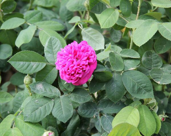 Rosa 'Rose de Rescht'