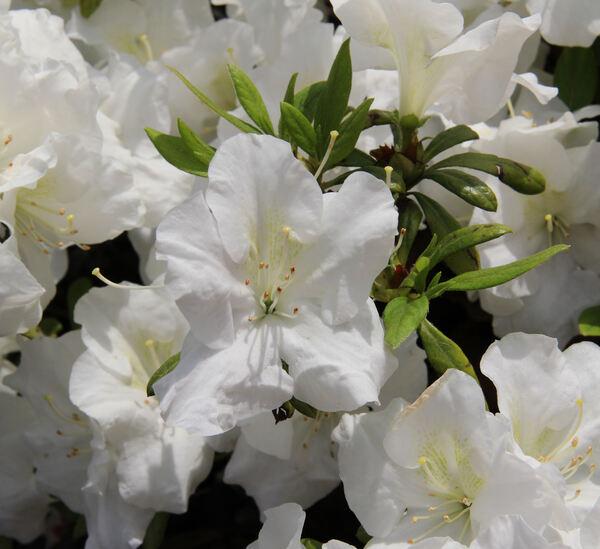 Rhododendron japonicum (Blume) C.K. Schneid.