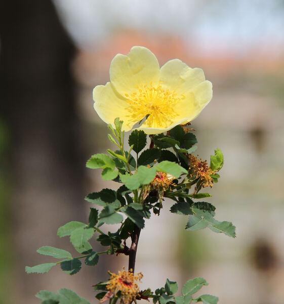 Rosa 'Canary Bird'
