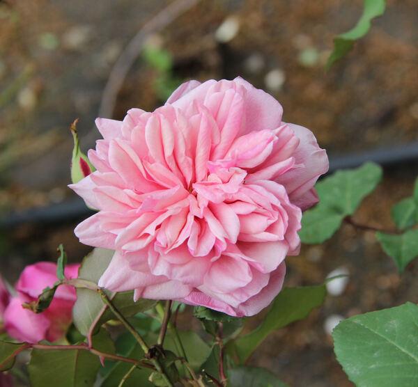 Rosa 'Le Vésuve'