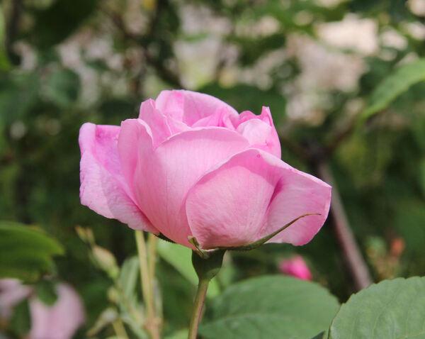 Rosa 'Madame Sancy de Parabère'