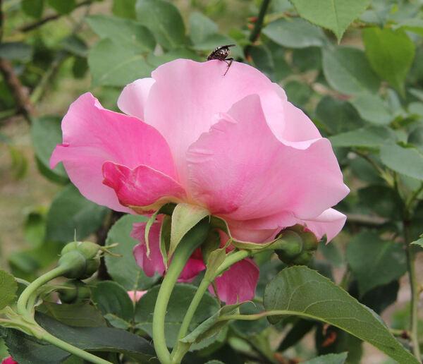 Rosa 'Madame Grégoire Staechelin'