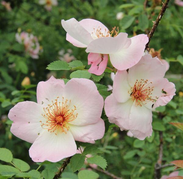 Rosa 'Frühlingsmorgen'