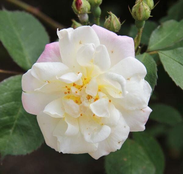 Rosa 'Apricot Bells'