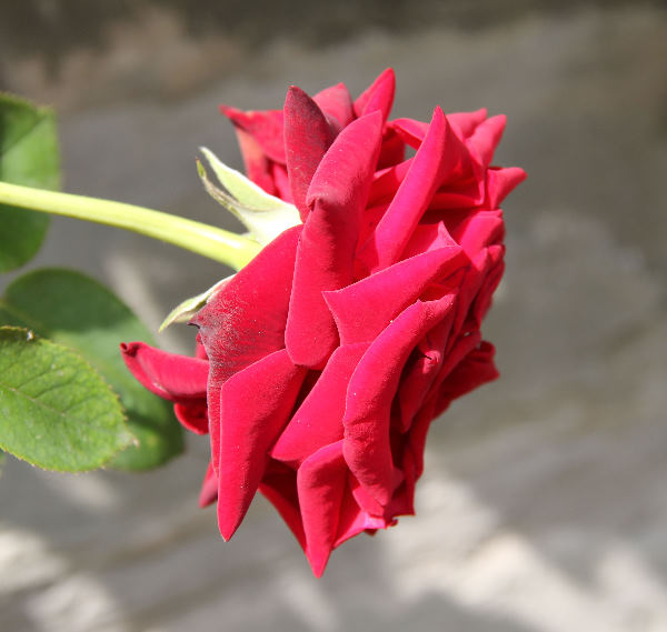 Rosa 'Velvet Star ®'