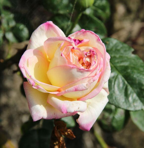 Rosa 'Peace, Cl.'
